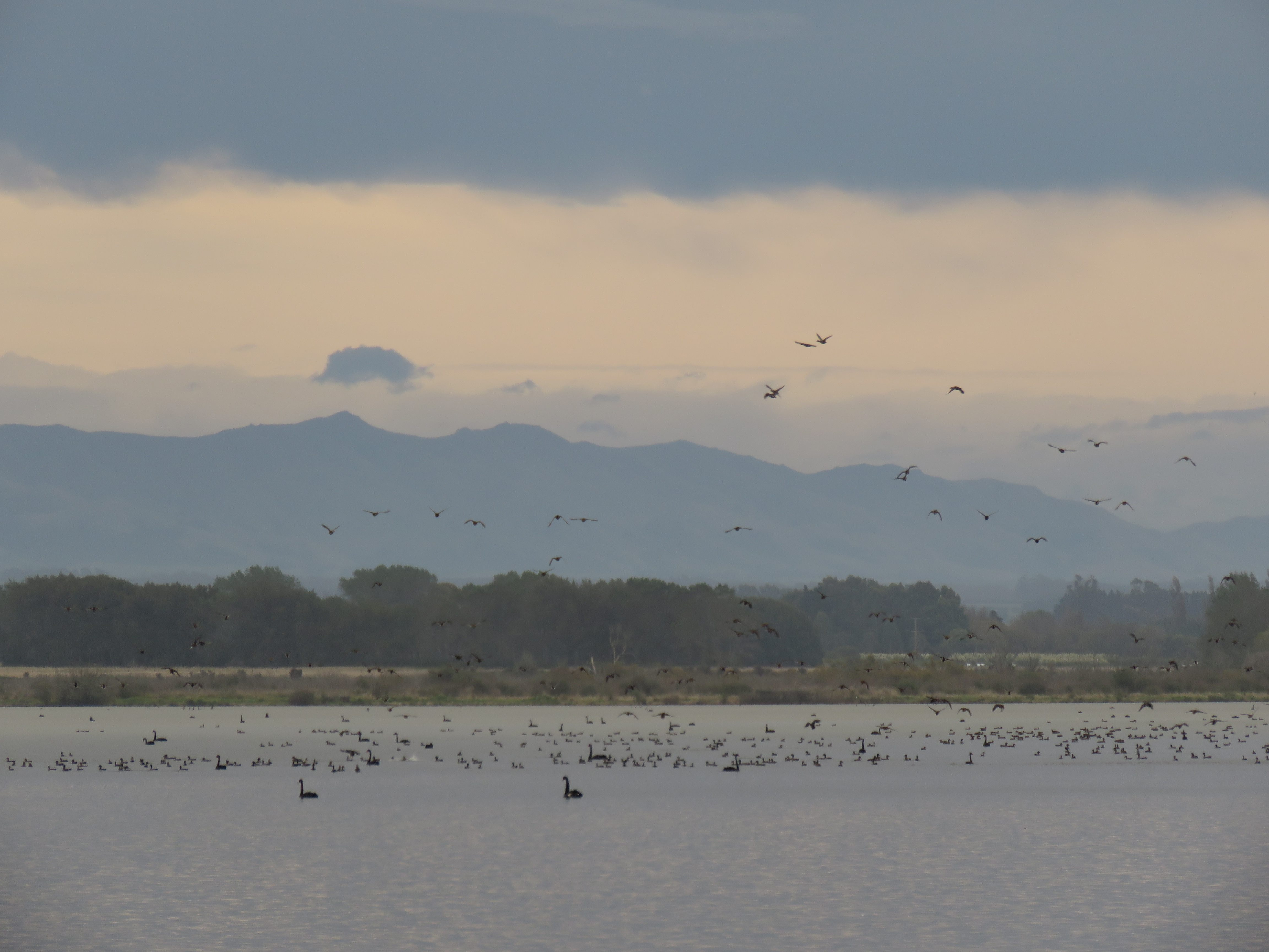 BBaprilCSI1good numbers of game bird are present at Wainono lagoon this autumn