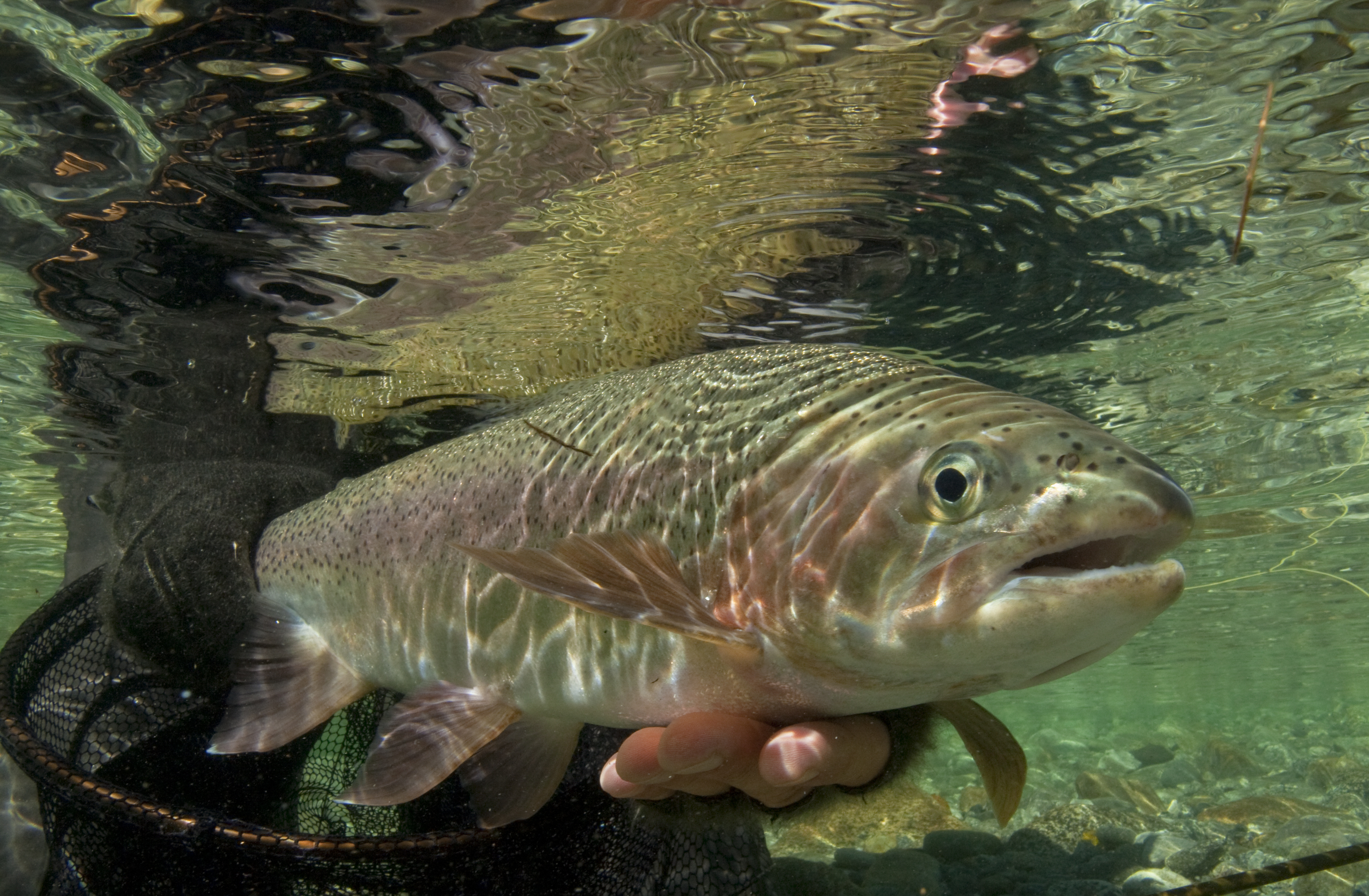 Fish eye view of a rainbow trout Photo Dave Shaw3