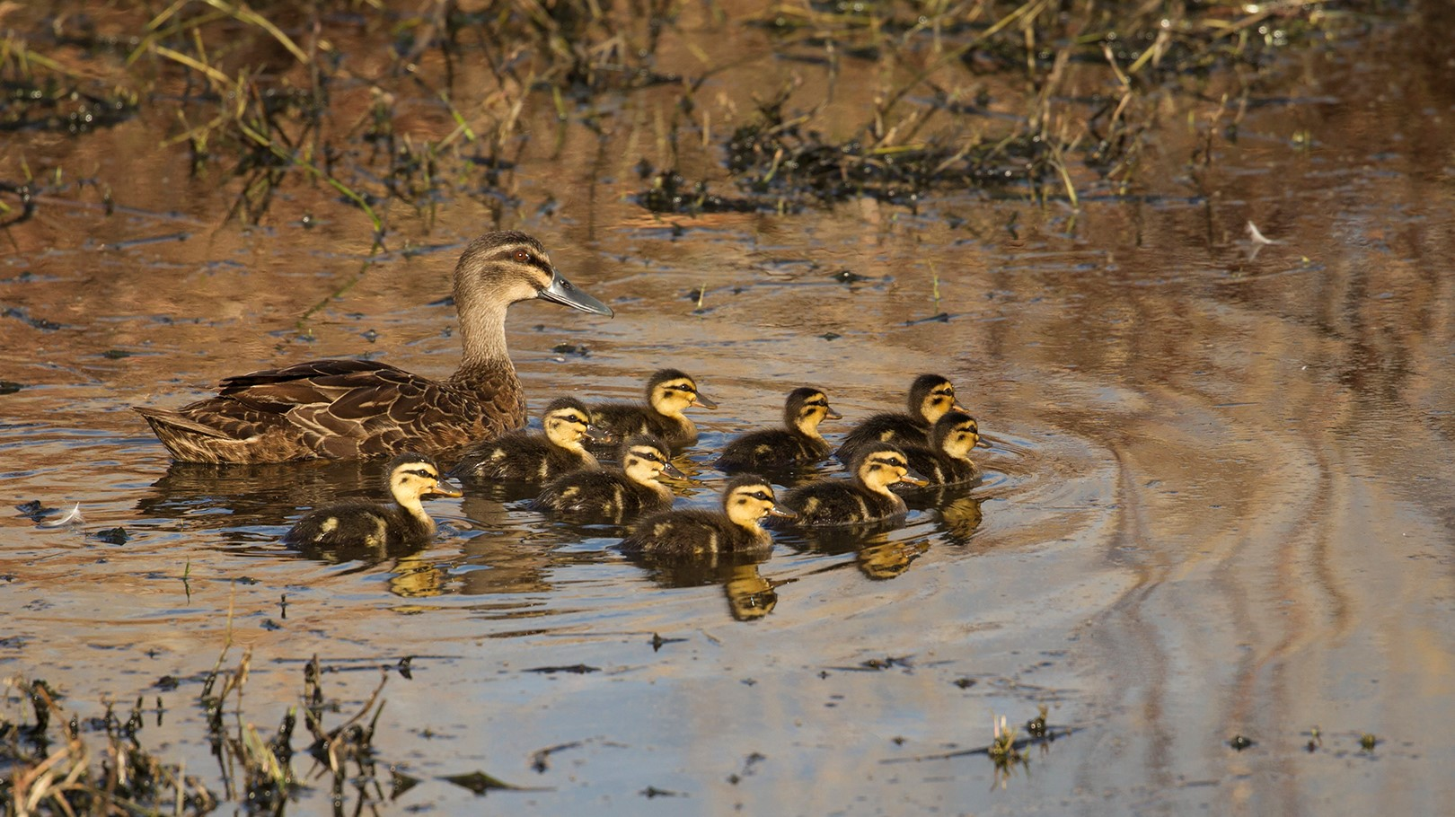 Its been great weather for ducks Photo Jeanette Nee