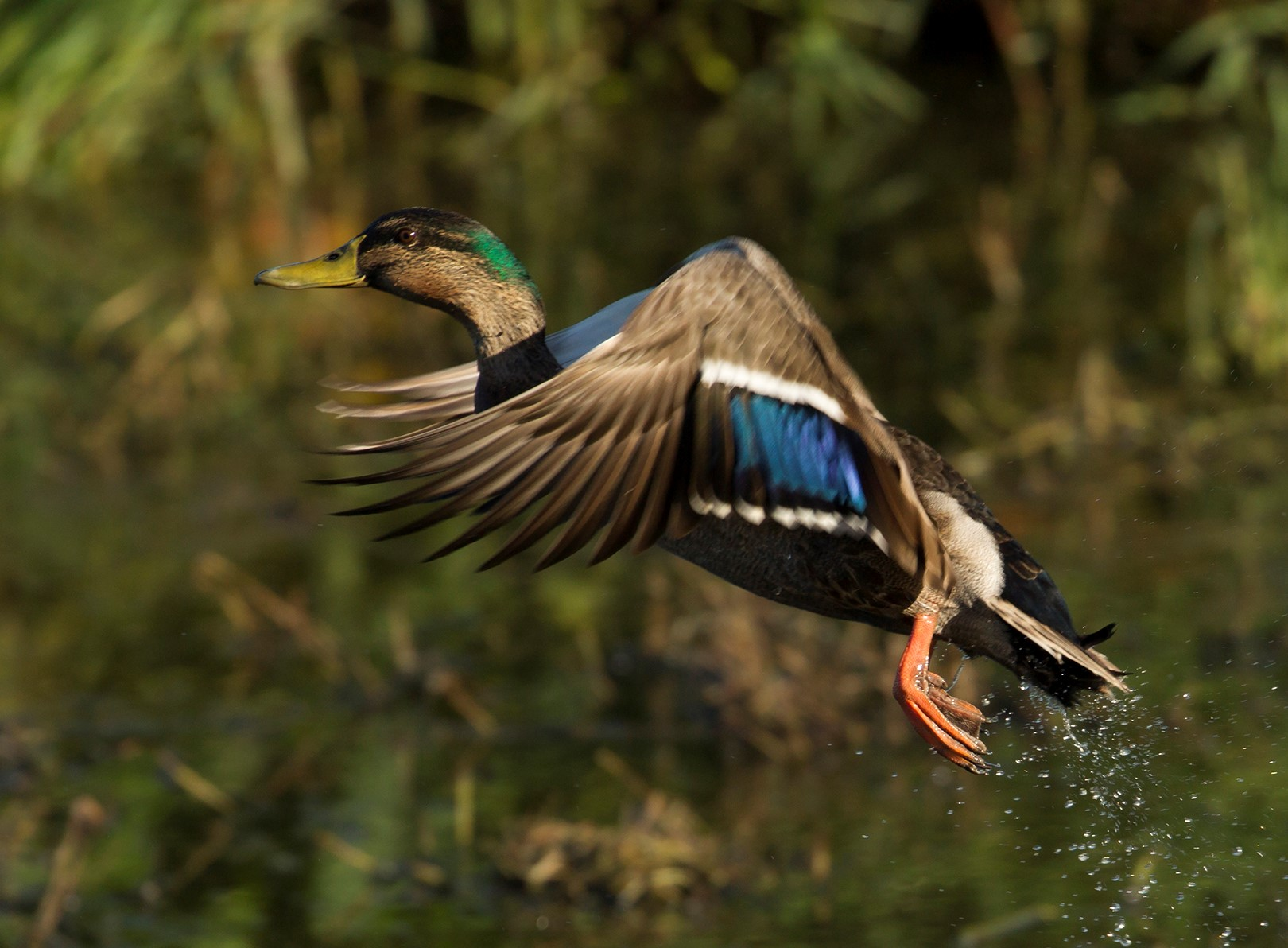 Mallard on the wing Photo Jeanette Nee3