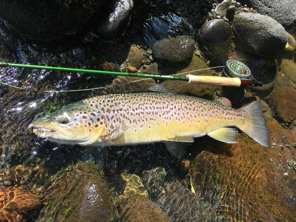 TRL1Dec18. Another awesome summer ringplain brown caught by Michael Bakker