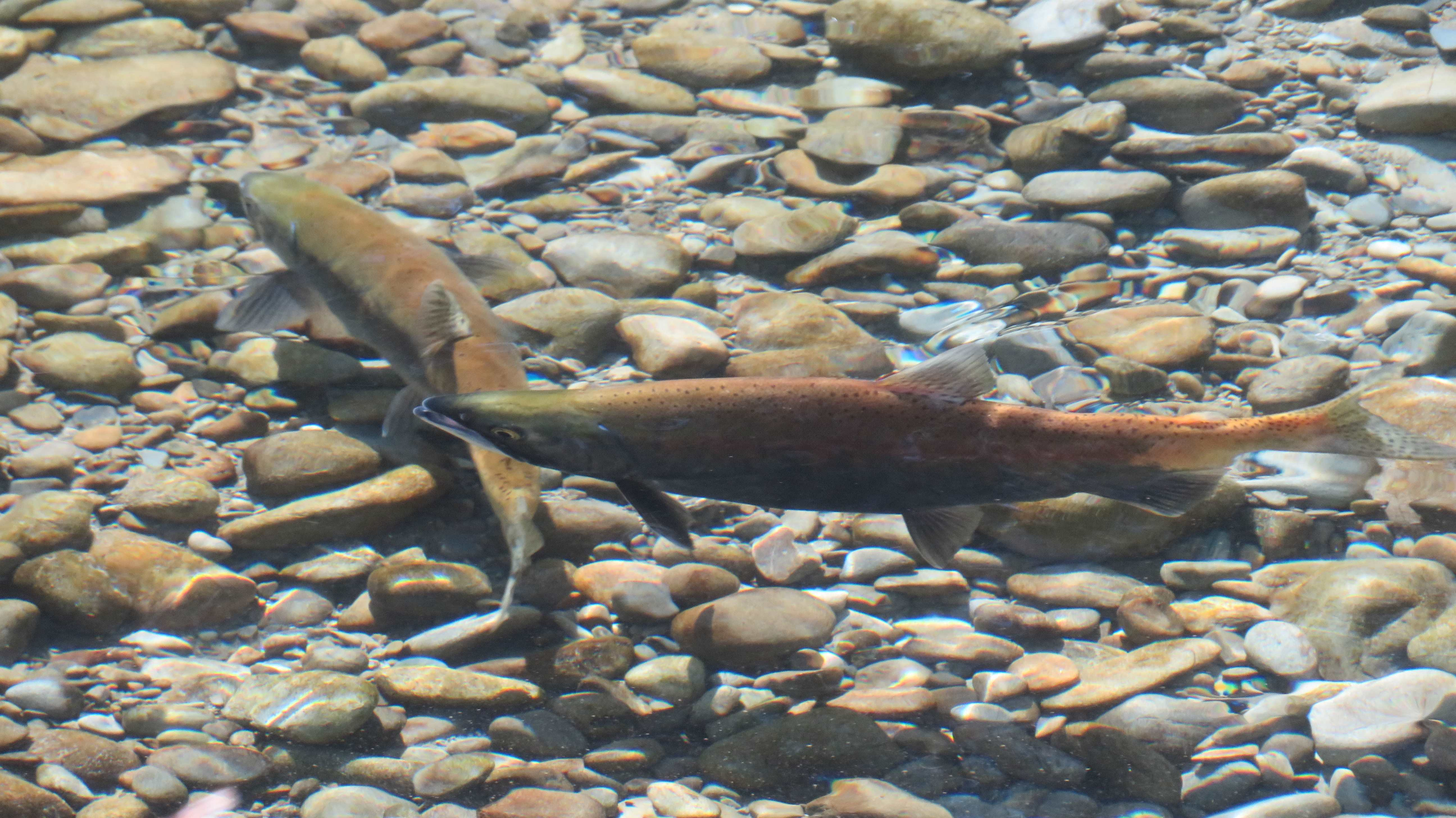 WFR1819.49sockeye salmon preparing to spawn in the Twizel River Credit Jayde Couper