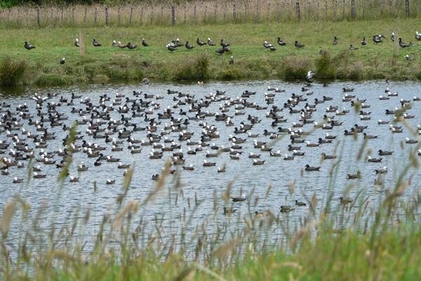 2021 TARANAKI SPECIAL GAME BIRD SEASON FOR PARADISE SHELDUCK
