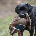 Labrador retrieves mallard. Photo from Anonymous