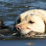 Bailey (3 years) retrieving a duck in the sun on Lake Waipori (Otago) on Opening Morning. Photo from Scott Weatherall