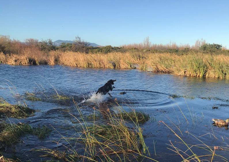 Enthusiastic retrieve by Digby 14 month old GSP at Lake Wairarapa on Sunday Alex Dalzell edited