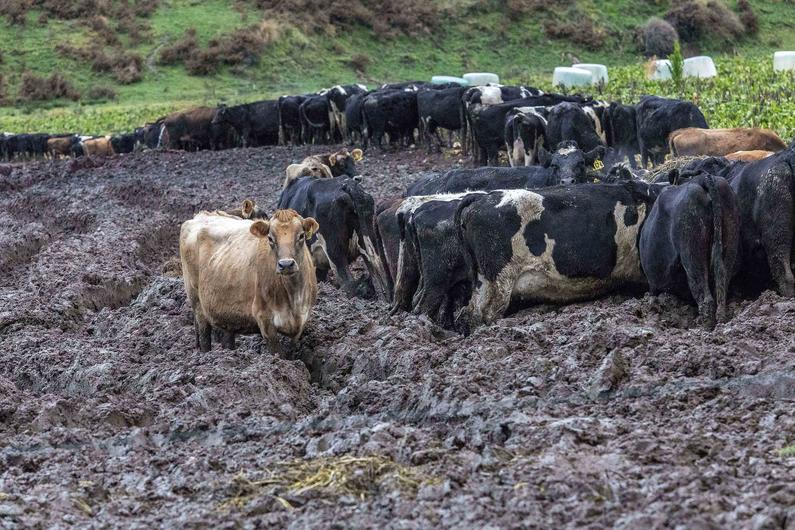 Heavy stocking turns intensive winter feeding paddock to mud FGNZ7869