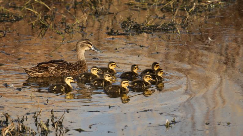 Its been great weather for ducks Photo Jeanette Nee2