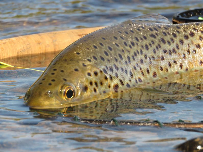 Makrewa trout in net with fly rod up close 2jpg