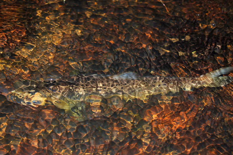 N 2 Brown trout headwaters Wilsons Dam3