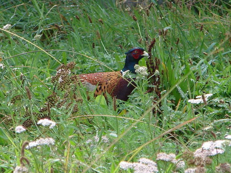 T2BBJuly18. Taranaki pheasants can be out in all weather.
