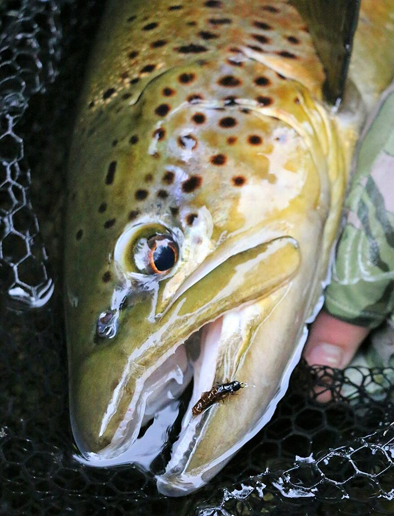 T2RLSept19. An early season brown falls to a well presented nymph Photo Kyle Adams.