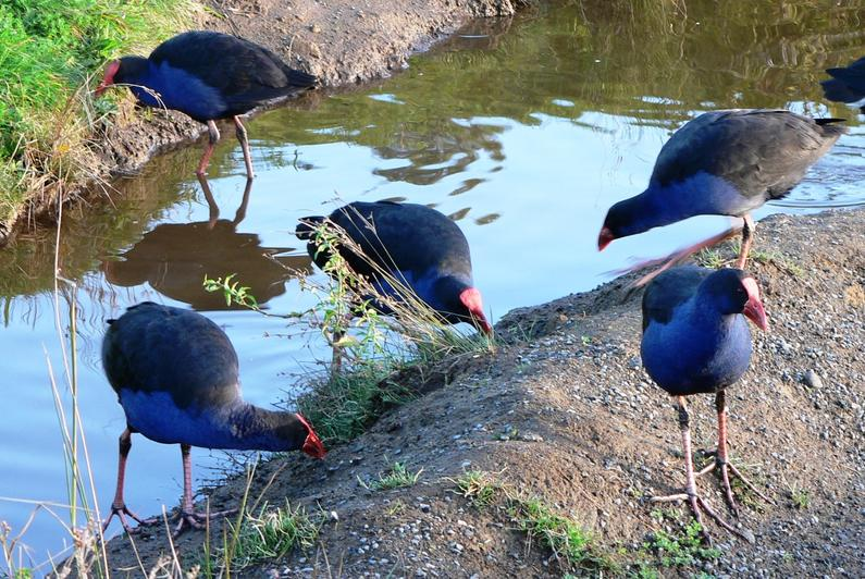 TBB1Jun19. Pukeko breast meat makes great eating.