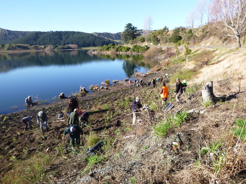 Volunteers planted hundreds of natives sedges and other plants along the shores of Lake Tutira.