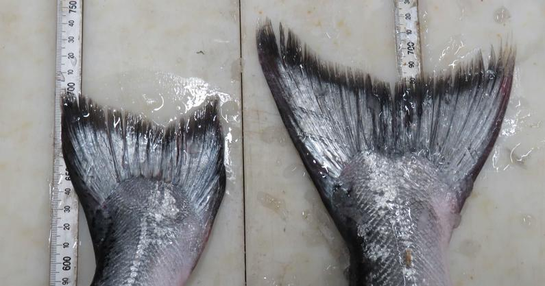 WFR1718.24farmed salmon with worn down tail fin on the left and wild salmon with a full tail on the right
