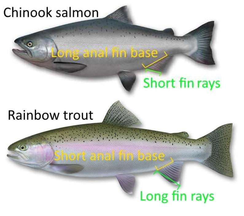 WFR1820.18salmon vs trout I.D. tip use the anal fin base length and fin ray length to distinguish trout from salmon