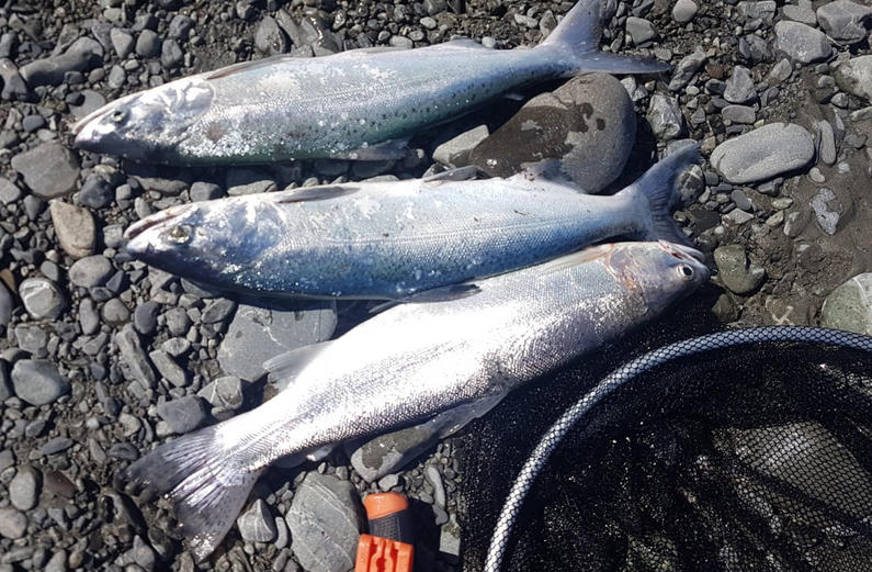WFR1920.12 Two salmon and a rainbow from Lake Tekapo last Saturday credit R De Lange