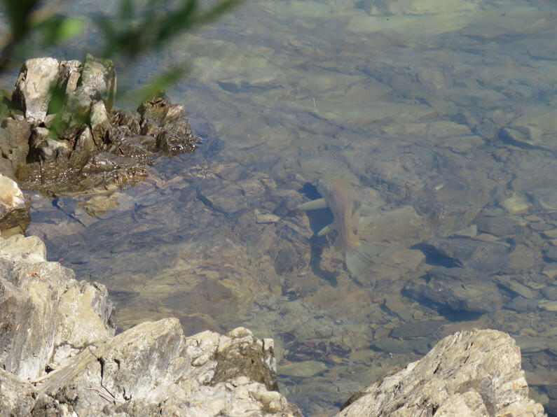 WFR2021.08 A brown trout patrolling the shoreline at Lake Opuha Credit R Adams