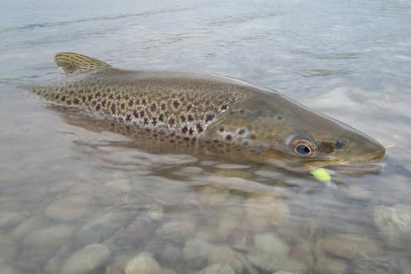 The threat to trout posed by the Bill